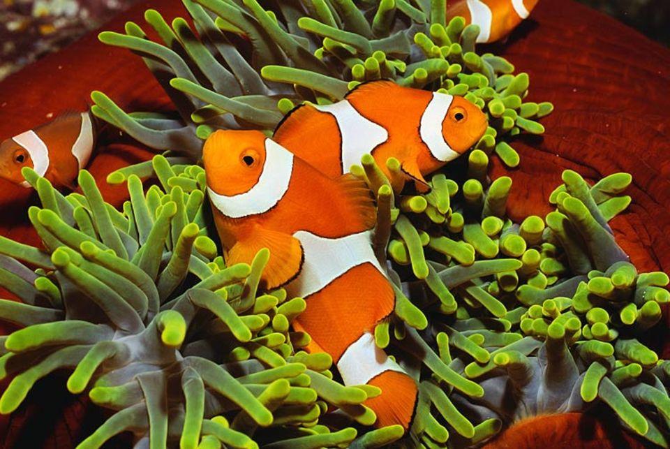 Die giftigen Tentakel der Anemone beschützen den Clownfisch