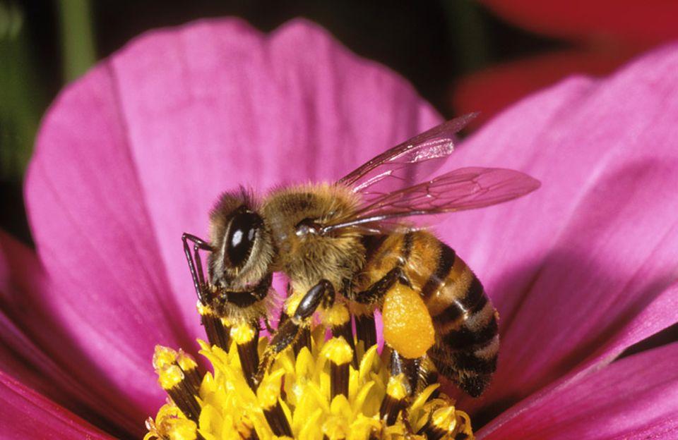 Die Biene bekommt Nektar, die Blume wird bestäubt