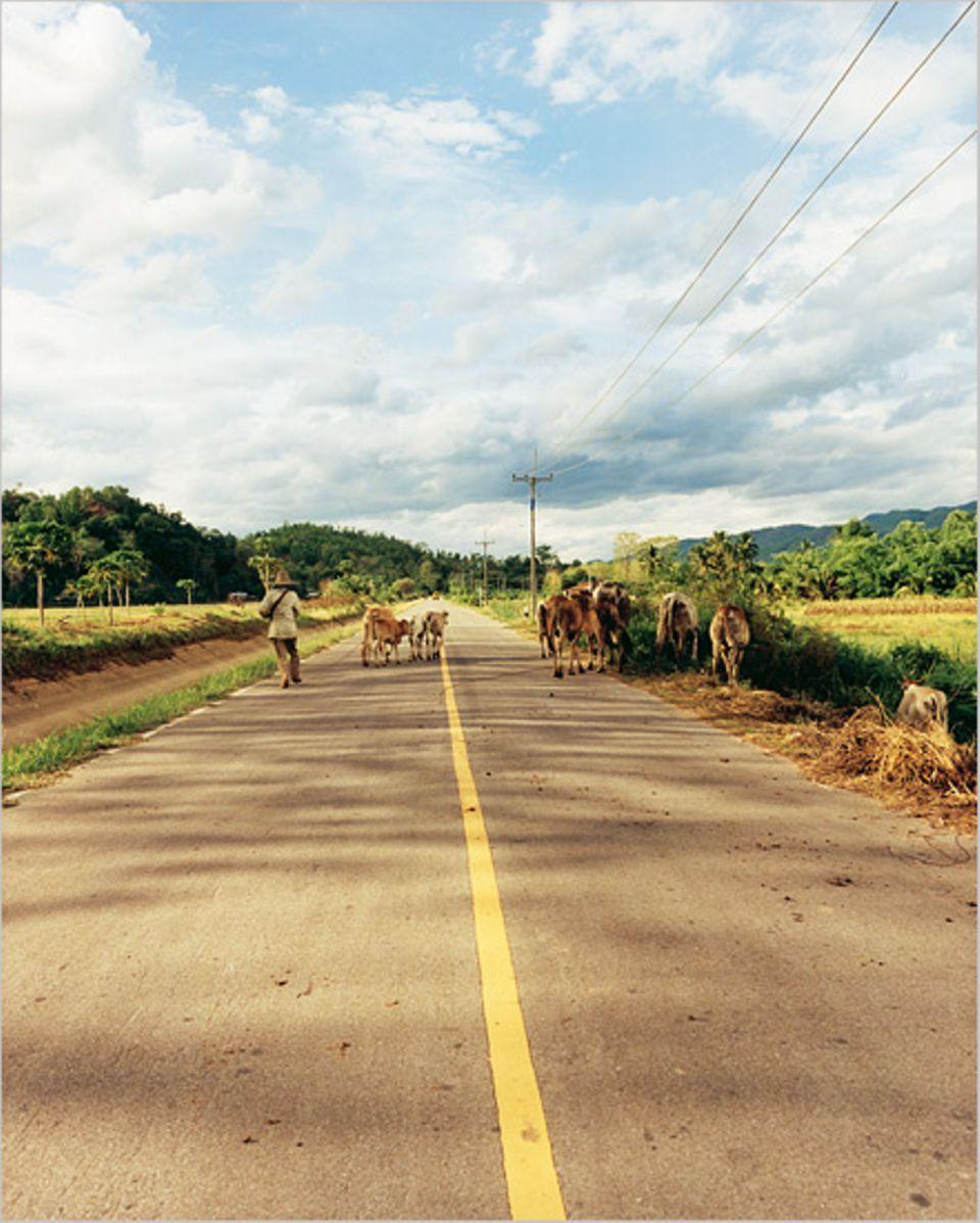 Thailand erfahren, das heißt auch: Rindviecher, die nicht genau wissen, auf welcher Straßenseite sie sich zu bewegen haben
