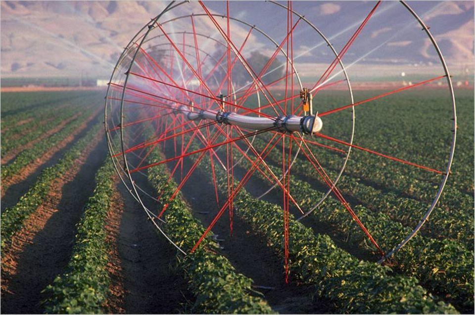 Aus mobilen Sprühmaschinen regnet mineralhaltiges Grundwasser auf ein Baumwollfeld in Kalifornien. Infolge des Intensivanbaus sind schon ganze Landstriche versalzt