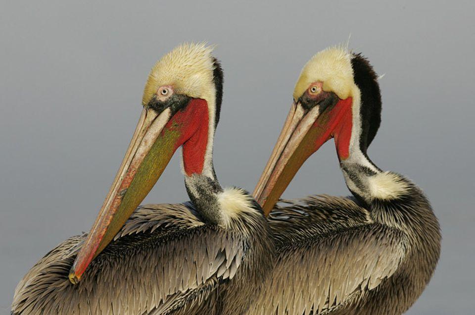 Vögel: Der Braune Pelikan ist die häufigste und kleinste der sieben Pelikanarten