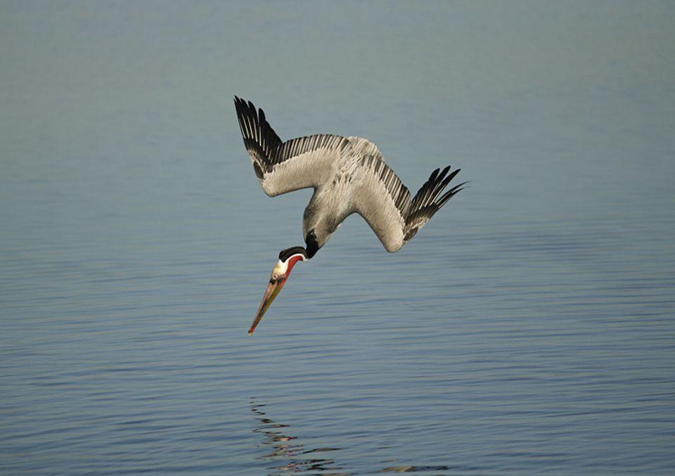 Vögel: Ein Pelikan hat einen Fisch entdeckt und schießt steil nach unten in das Wasser. Der Sturzflug ist ein schwieriges Manöver. Jungtiere müssen lange üben, bis sie mit der Technik erfolgreich jagen können