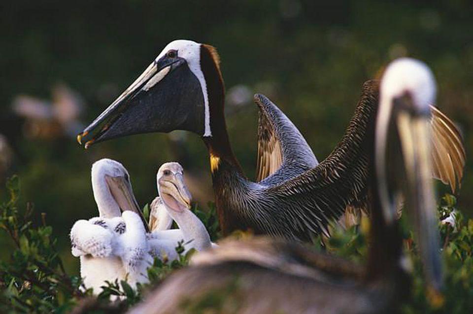 Vögel: Kugelrund: Nach zehn Wochen Dauerfuttern sind die jungen Pelikane oft schwerer als ihre Eltern. Bald werden sie das Nest in dem Mangrovenwald verlassen