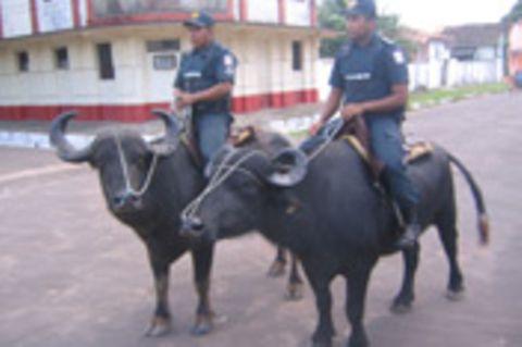 Brasilien - Büffel auf Streife