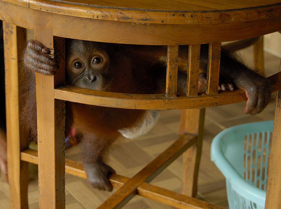 """Affen: Orang-Utan ist Indonesisch und bedeutet """"Mensch des Waldes"""""""