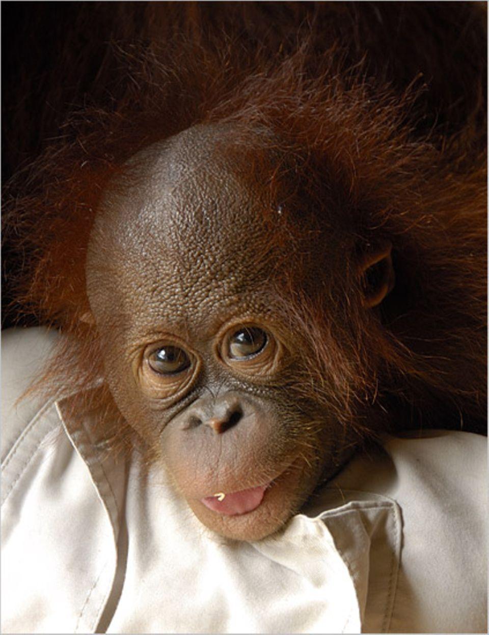 Affen: Orang-Utan-Babys brauchen wie Menschenbabys viel Liebe und Zuneigung