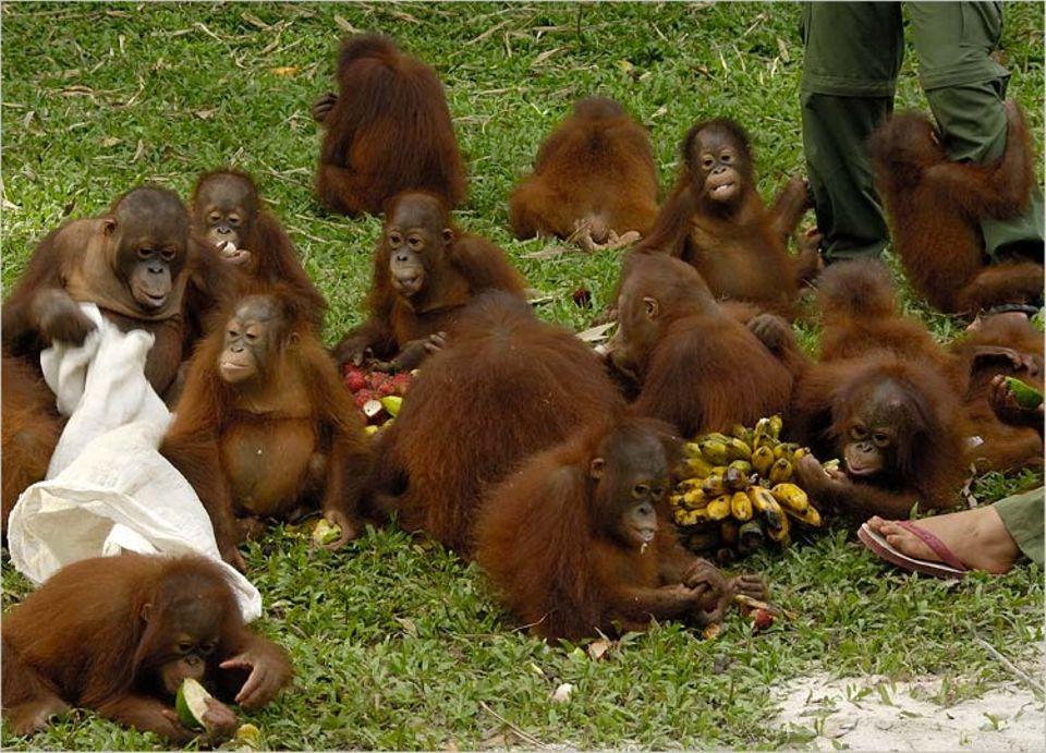 Affen: Orang-Utans sind ausgesprochen friedliche Tiere