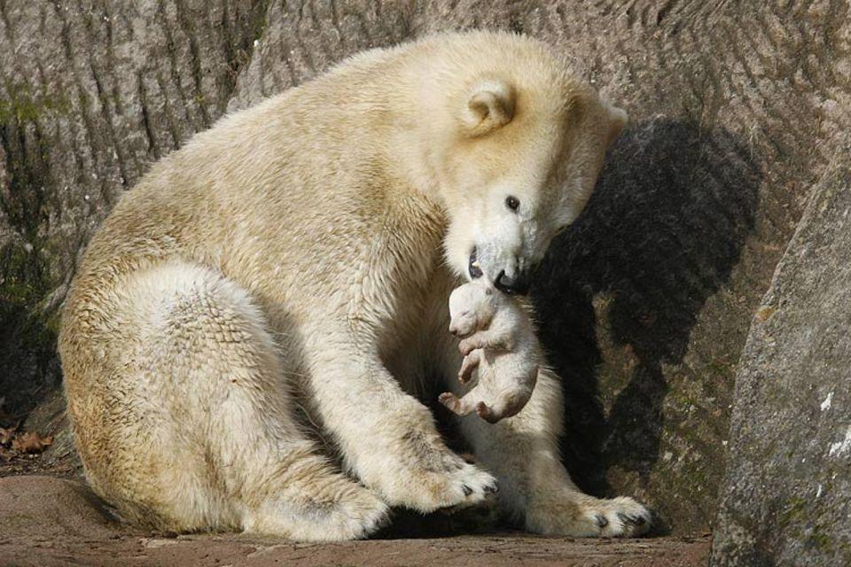 """Vera, die Mutter des Nürnberger Eisbär-Babys, wurde """"aus Sicherheitsgründen"""" von ihrem Nachwuchs getrennt"""