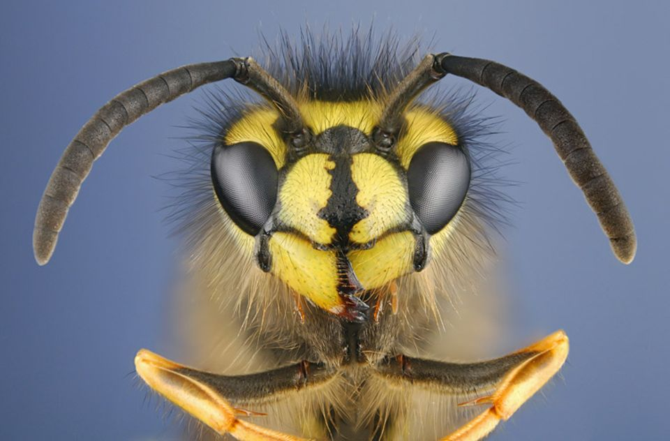 Fünffacher Bienenblick: Mit den drei Punktaugen zwischen den Antennen nehmen Bienen Helligkeit wahr; mit den beiden großen FACETTENAUGEN erkennen sie auch ultraviolettes Licht, das für uns Menschen unsichtbar ist.