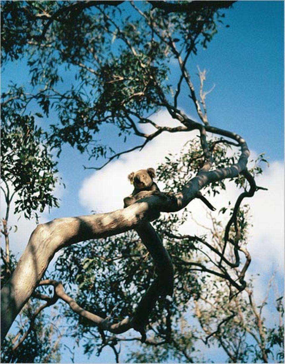 """Nach dem englischen Wort für """"freiwillig"""" sind die Arbeitsferien benannt: Volunteering. Auch im australischen Osten, wo die Freiwilligen das Objekt ihrer Wissbegier sichtlich unbeeindruckt lassen: den Koala"""
