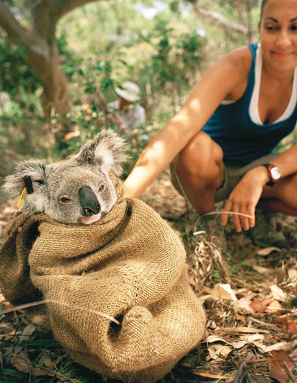 Im Beutel hocken Koalas nur die ersten neun Monate nach der Geburt. Veronica muss für eine halbe Stunde nachsitzen, ihr Peilsender ist defekt und wird nun ausgetauscht