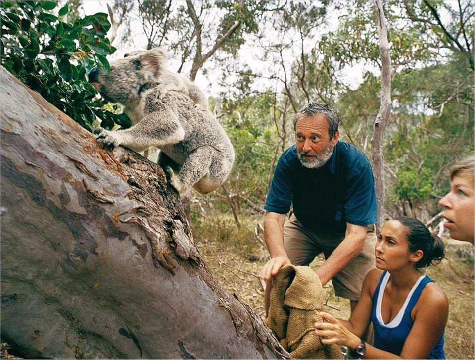 Inventur nach 14 Tagen. 53 Koalas wurden registriert, die untersuchten waren zwischen 1,03 und 9,75 Kilogramm schwer. Bilanz auf Menschenseite: ein lädierter Arm