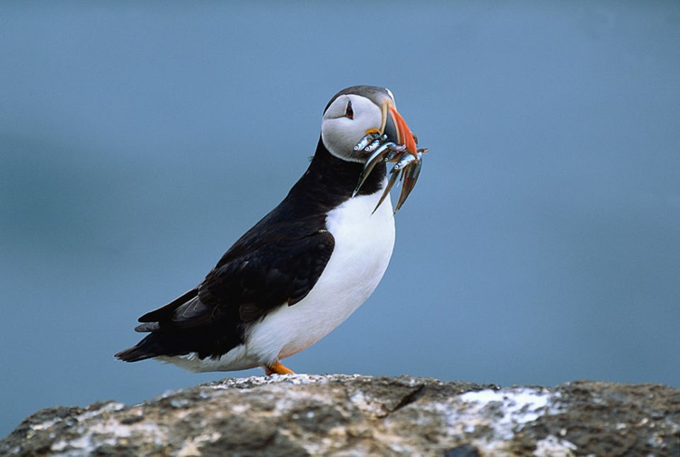 Dieser Vogel hat beim Tauchgang einen Schnabel voll Sandaale erbeutet