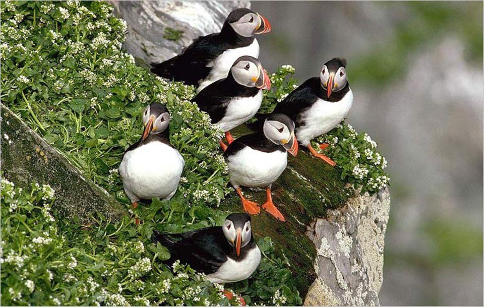 Riesengeschrei: Wo Papageitaucher nisten, kann es ganz schön eng werden. Die größte Kolonie besteht aus rund zwei Millionen Vögeln!