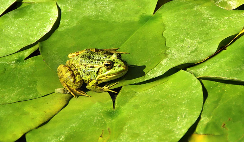 Redewendung: Wer einen Frosch im Hals hat, hat nicht selten mit den Tränen zu kämpfen