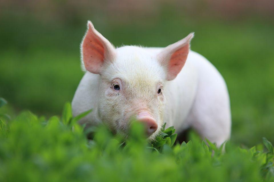"""Die Redewendung """"Schwein gehabt"""" solltest du nicht wörtlich nehmen..."""