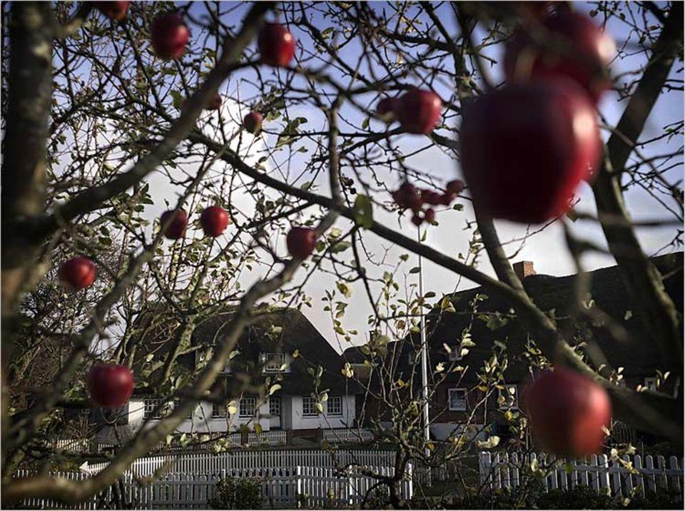 Vor dem Haus von Familie Kühn schaukeln rotwangige Äpfel; keine Selbstverständlichkeit, denn viele Bäume vertragen den salzigen Grund nicht