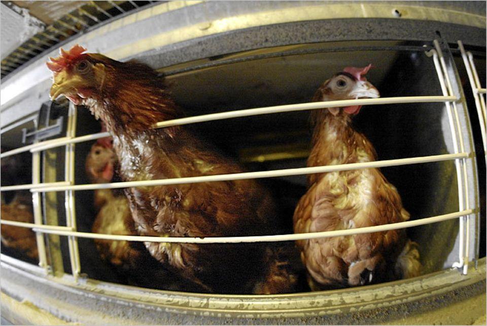 Rund zwei Drittel aller deutschen Hühnereier stammen aus Legebatterien
