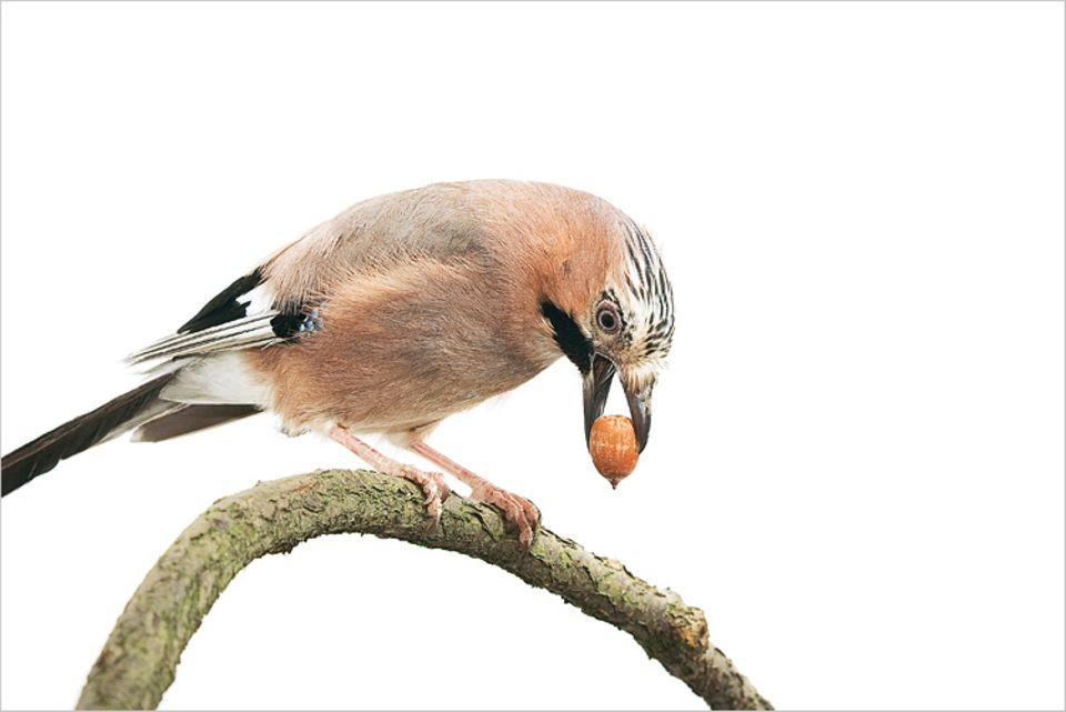 Der Job klingt nach Akkordarbeit: Für ihr Projekt Wintervorrat pflücken sich Eichelhäher im Herbst die besten Eicheln von den Bäumen. Jeder Vogel versteckt auf diese Weise bis zu 7000 Eicheln, mindestens doppelt so viele, wie er im Winter tatsächlich frisst. Der Rest wächst häufig an