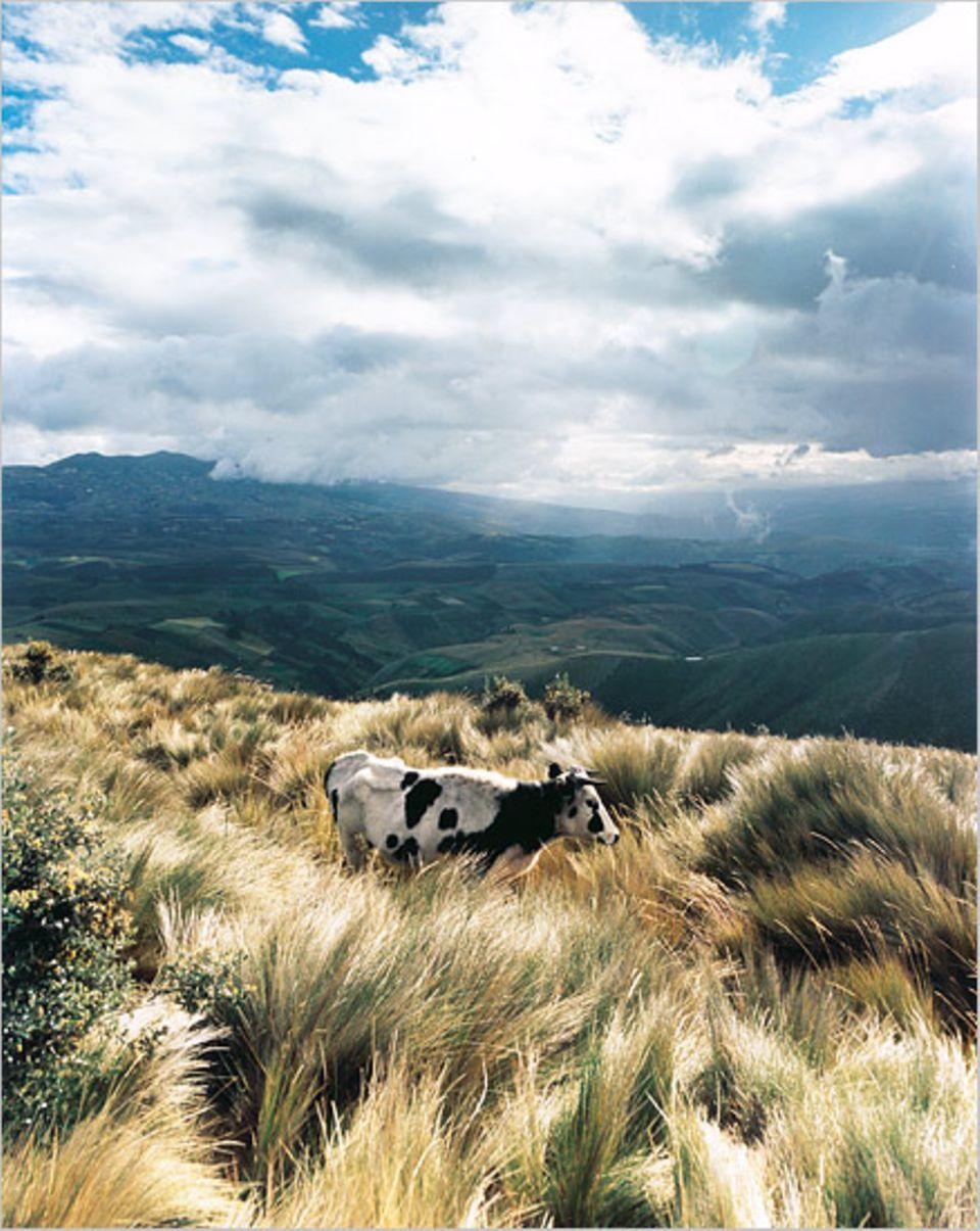 Über die Flanken des Vulkans Cayambe ziehen sich die Weideflächen bis hinunter in die gleichnamige Stadt
