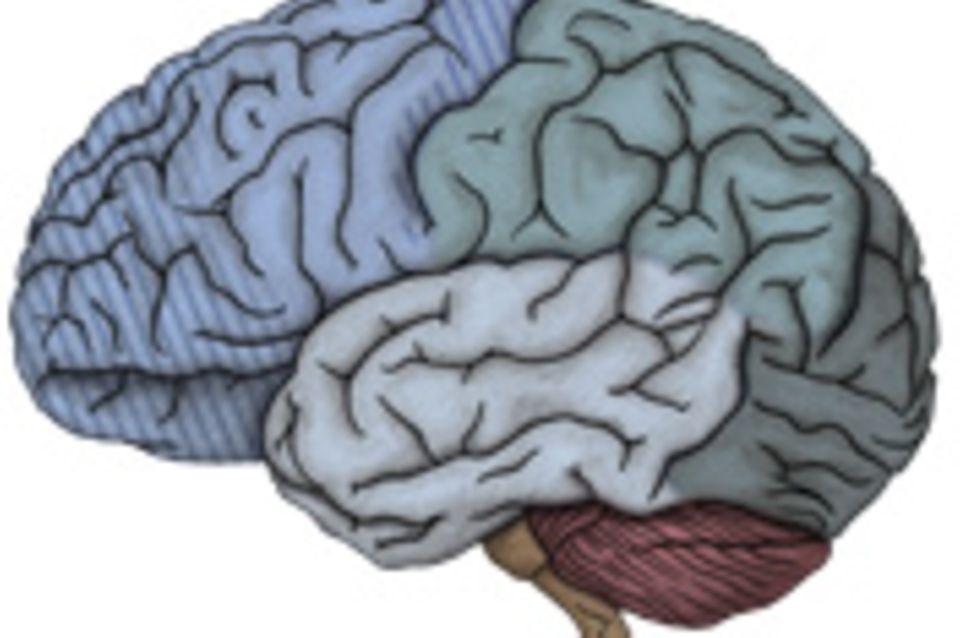 Das Gehirn: Evolution des Gehirns