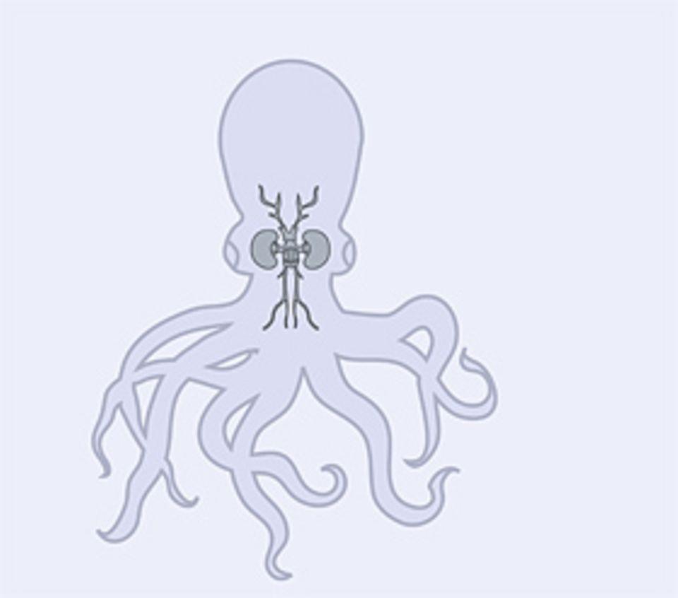 Das Gehirn: Kraken besitzen das höchstentwickelte Gehirn aller Wirbellosen: Es befähigt sie zu raschem Lernen und virtuosen Bewegungen