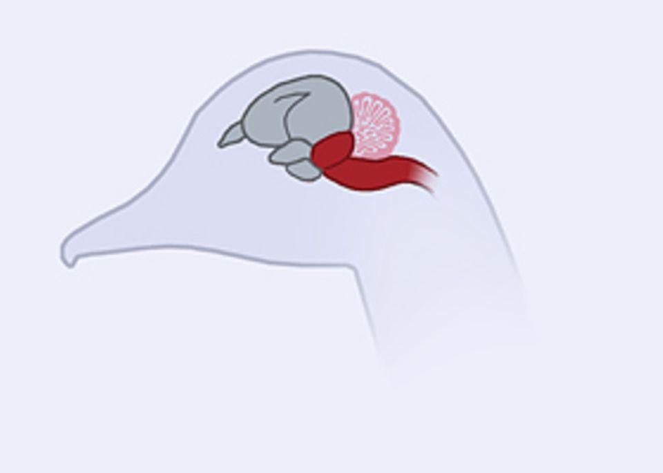 Das Gehirn: Viele Vögel besitzen ein massiges Kleinhirn (rosafarben), das ihnen eine präzise Orientierung in der Luft ermöglicht. Auch der vordere Teil des Hirns – Sitz der Intelligenz – ist stark vergrößert