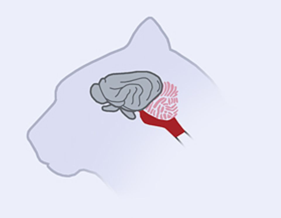 Das Gehirn: Das Denkorgan von Säugern mit höher entwickelten Gehirnen (etwa von Katzen) ist von der zerfurchten Großhirnrinde geprägt. In ihr entstehen Bewusstsein und Lernfähigkeit der Tiere