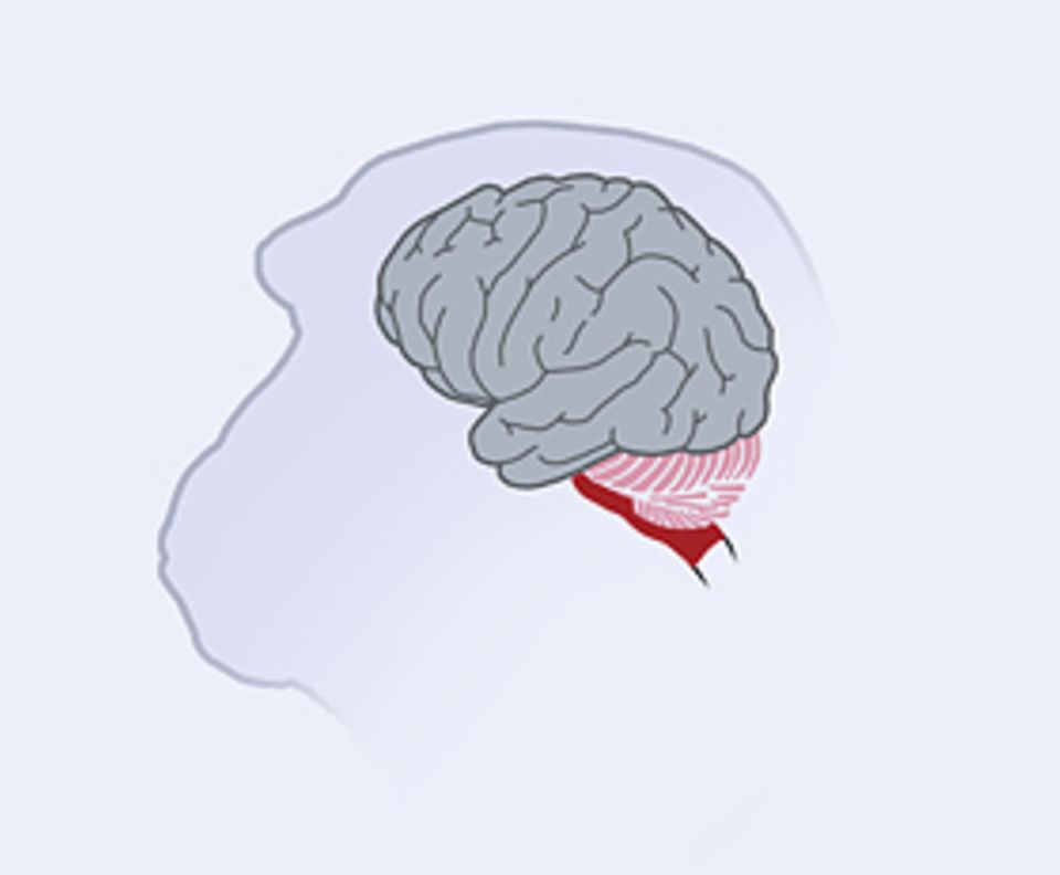Das Gehirn: Die Großhirnrinde von Menschenaffen ähnelt der des Homo sapiens und ist sehr stark gefaltet – so passt sie trotz ihrer großen Oberfläche in den Schädel der Tiere