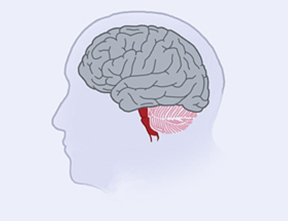 Das Gehirn: Im Laufe der menschlichen Entwicklungsgeschichte nahm vor allem der stirnnahe Teil der Großhirnrinde zu. Dort laufen höhere geistige Prozesse ab, und dort ist vermutlich auch unsere Intelligenz lokalisiert