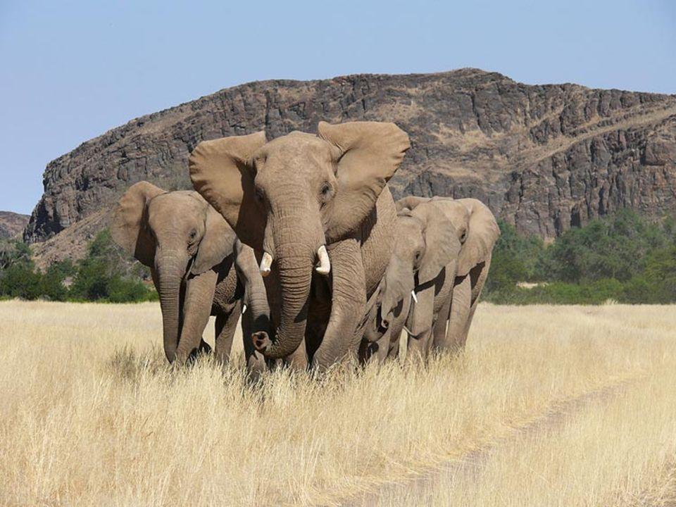 Eine Herde von sechs Wüstenelefanten, zwei Mütter mit ihren Jungen, auf dem Weg zur Wasserstelle