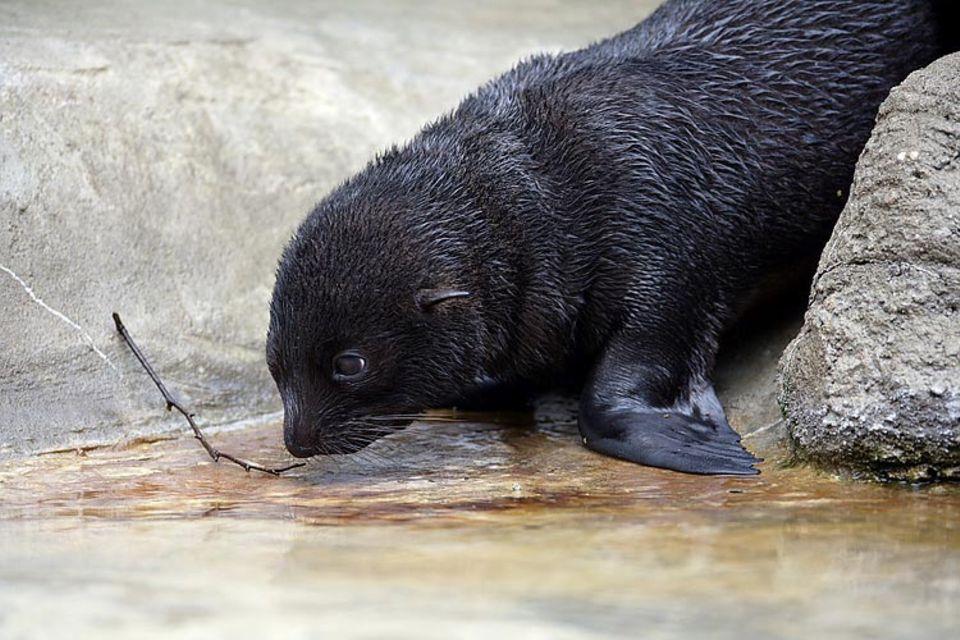 Doch das Wasser übt eine zu starke Anziehungskraft auf die neugierige Bonita aus, als dass sie ständig bei Mama bleiben könnte