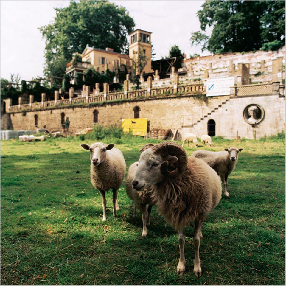 Schloss Sanssouci: Der Winzerberg wird mit privatem Geld renoviert, den Rasen pflegen die Schafe