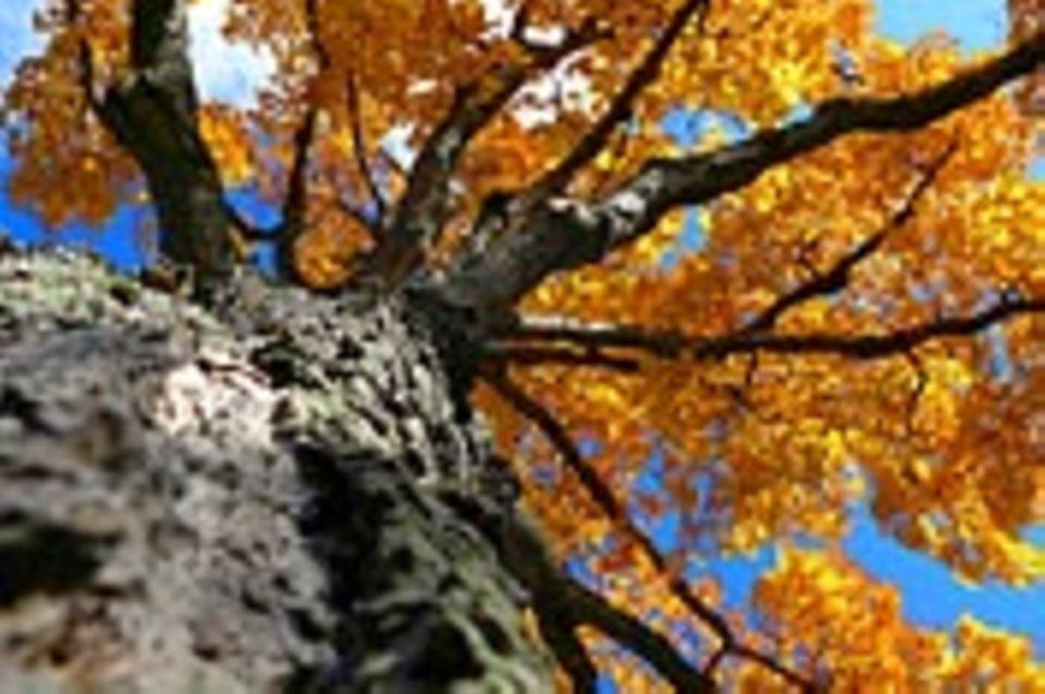 Schiebepuzzle: Nr. 10: Herbstbaum