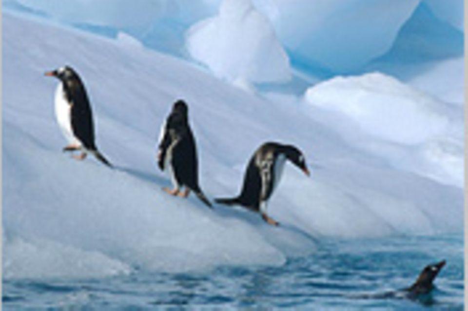 Schiebepuzzle: Nr. 30: Pinguine