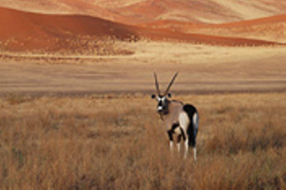 Schiebepuzzle: Nr. 36: Oryx-Antilope, Namibia
