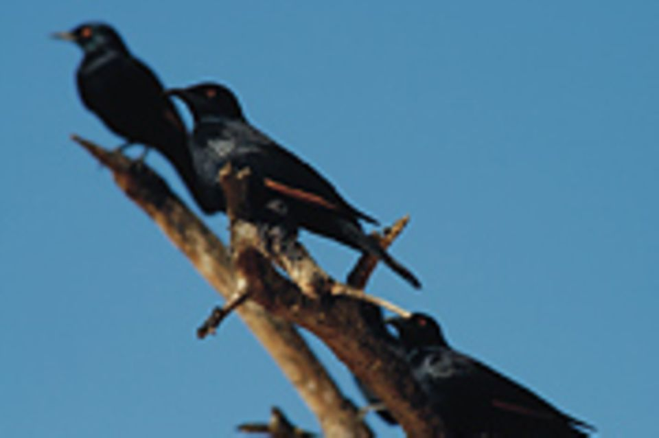 Schiebepuzzle: Nr. 42: Vögel in Namibia