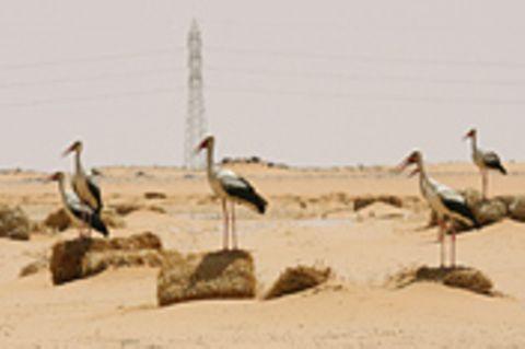 Störche in der Wüste