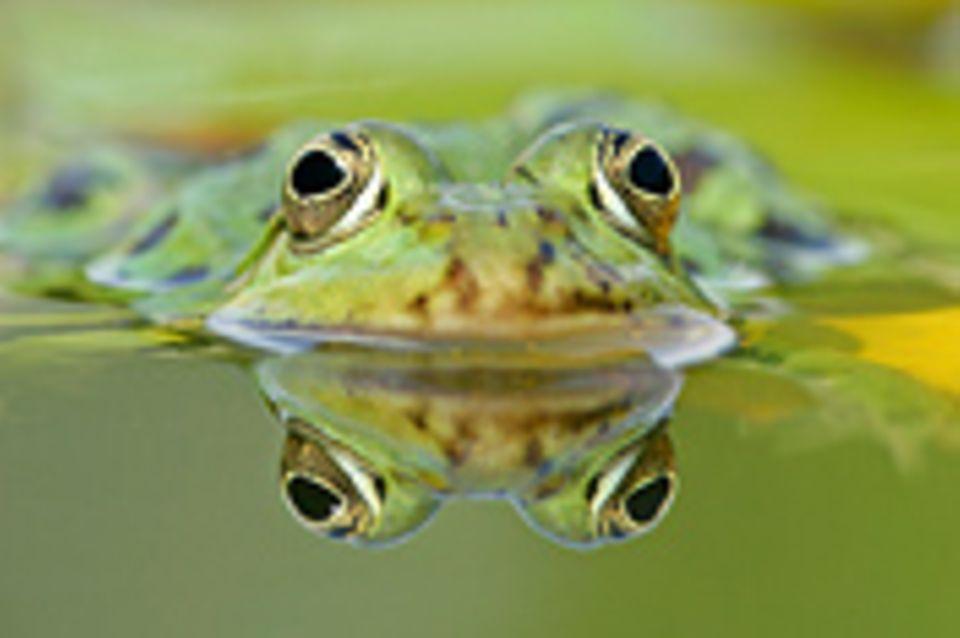 Schiebepuzzle: Nr. 72: Frosch