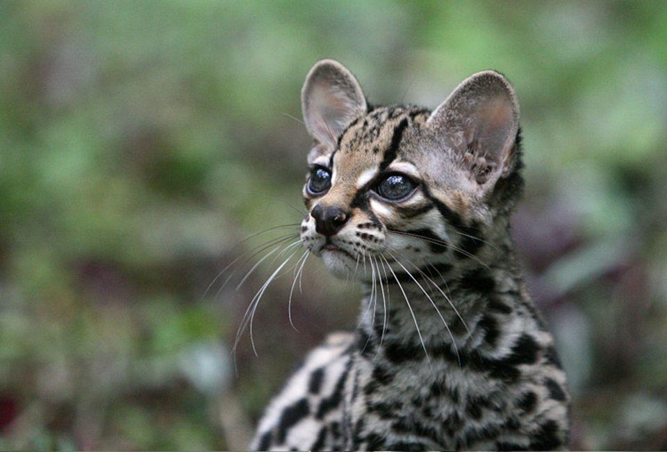 Auch wenn sie aussehen wie kleine Kätzchen, Margays sind keine Haustiere
