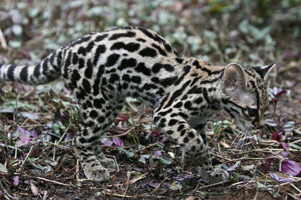 Gut getarnt: Mit ihrem Leopardenmuster sind Margays im Licht und Schattenspiel der Blätter nur schwer zu entdecken
