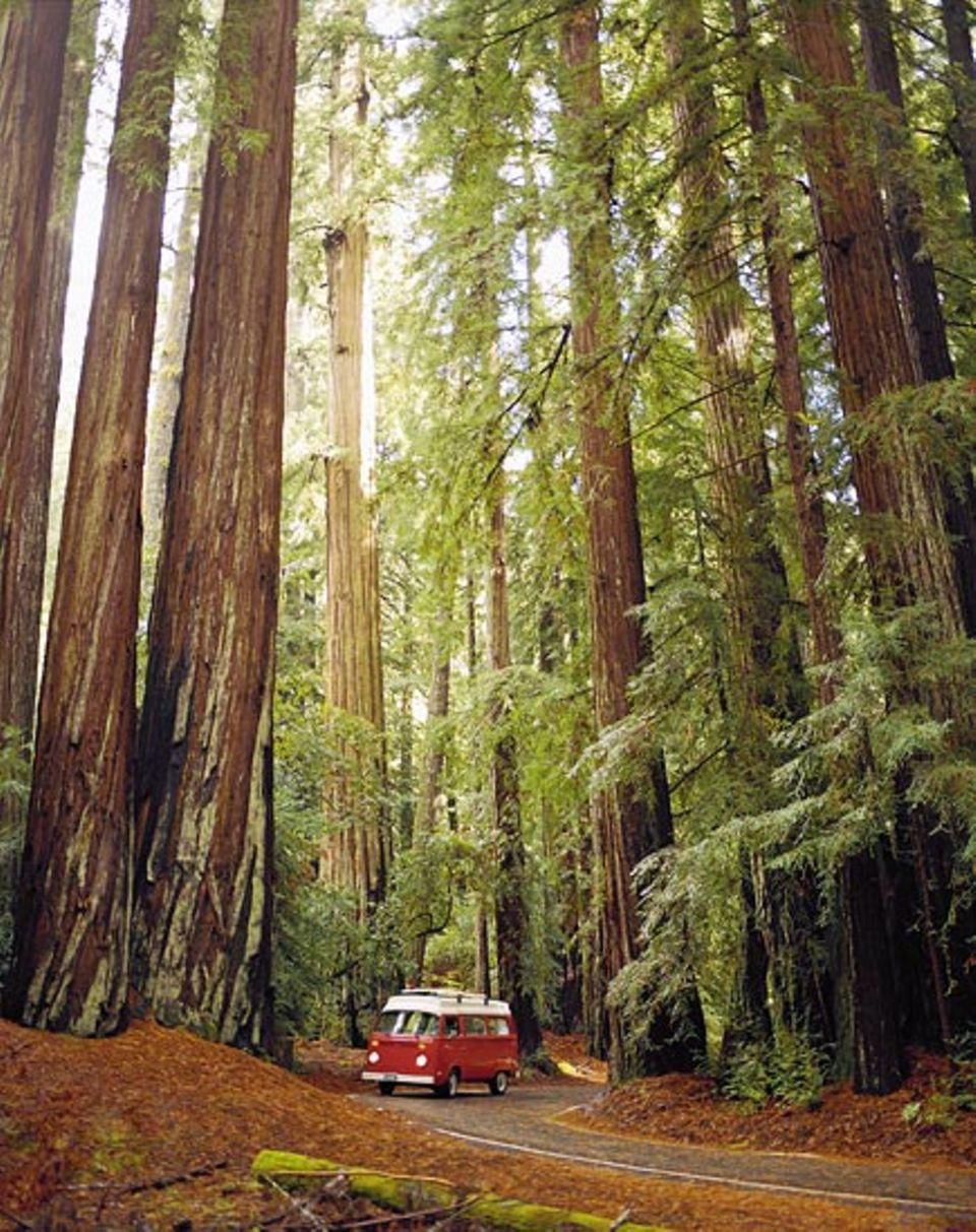 Der kleine Freak im Reich der Riesen: dem Big Basin Redwoods State Park