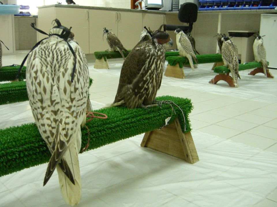 Falkenhospital Abu Dhabi: Falken warten auf ihre Behandlung