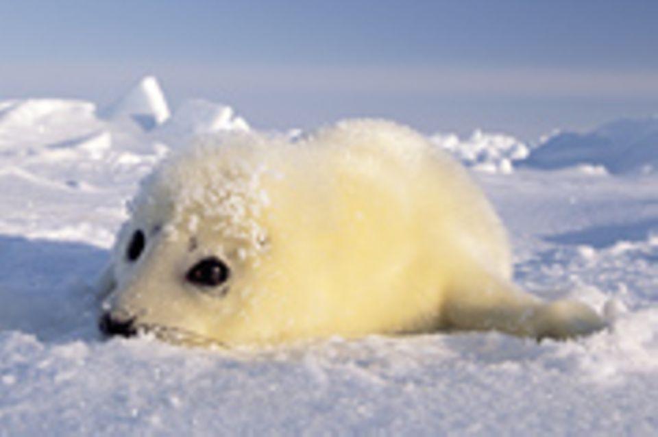 30 Nationen für die Robben