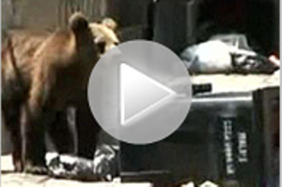 Tierwelt-Video: Braunbär versetzt Stadt in Aufregung