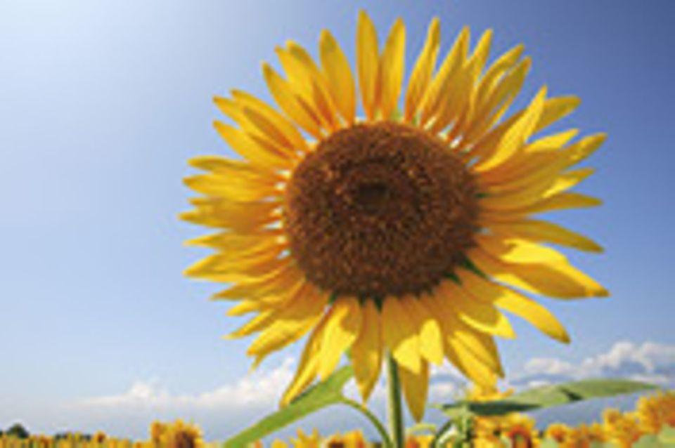 Puzzle: Sonnenblume