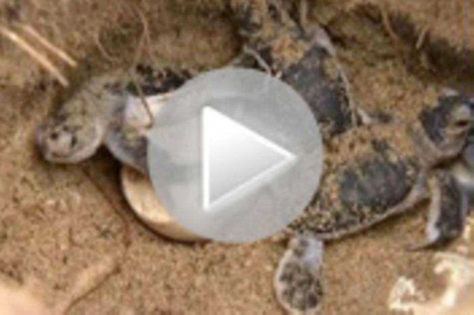 Tierwelt-Video: Militär hilft Schildkröten