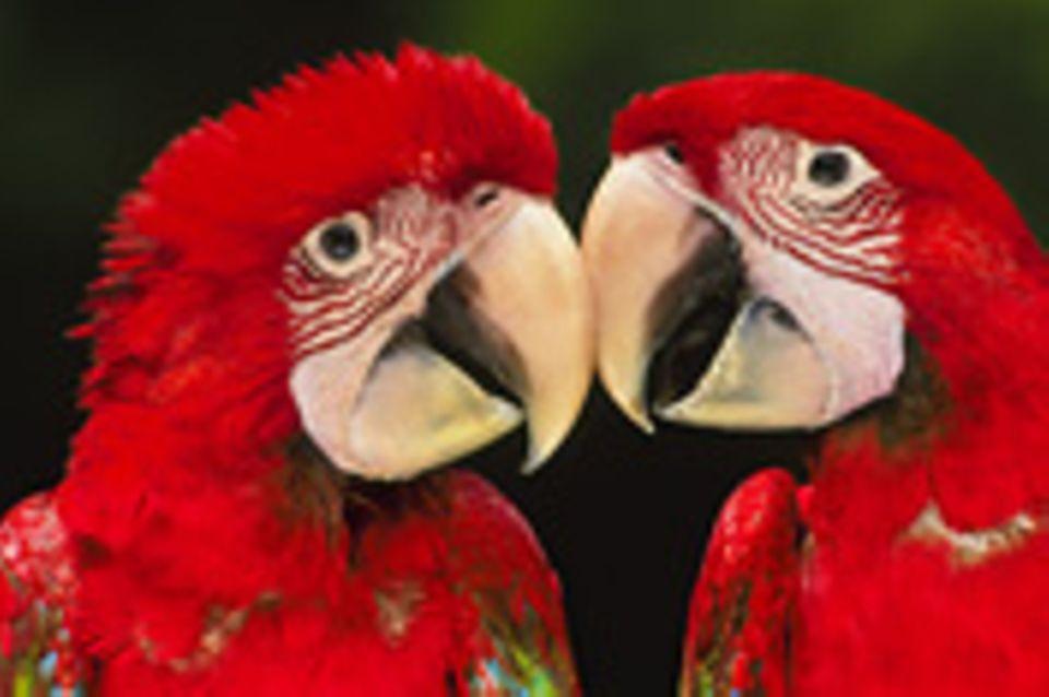 Schiebepuzzle: Papageien