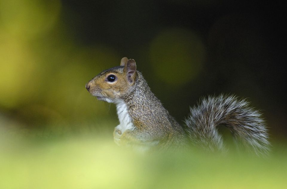 Auch das Fell der europäischen Eichhörnchen rangiert von rotbraun bis schwarz: Doch ein Grauhörnchen lässt sich leicht daran erkennen, dass es keine Haarpinsel an den Ohren hat.
