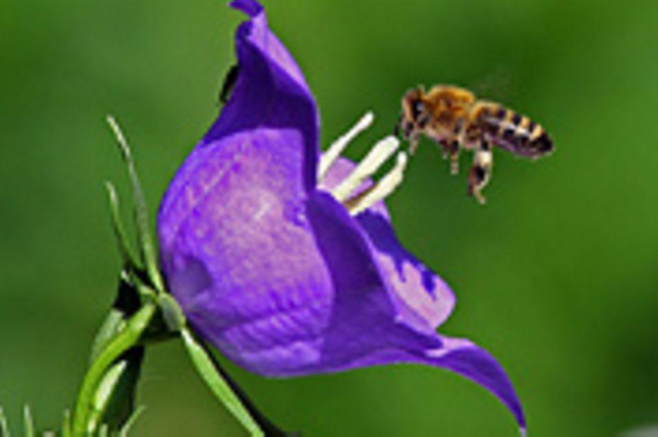 Schiebepuzzle: Nr. 94: Fleißige Biene